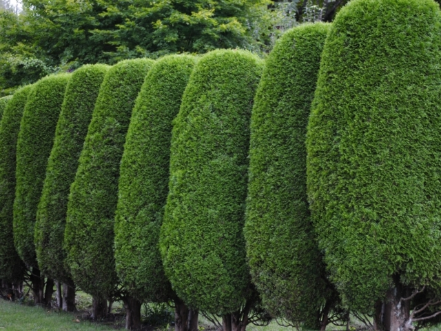 hedge-trimming-surrey
