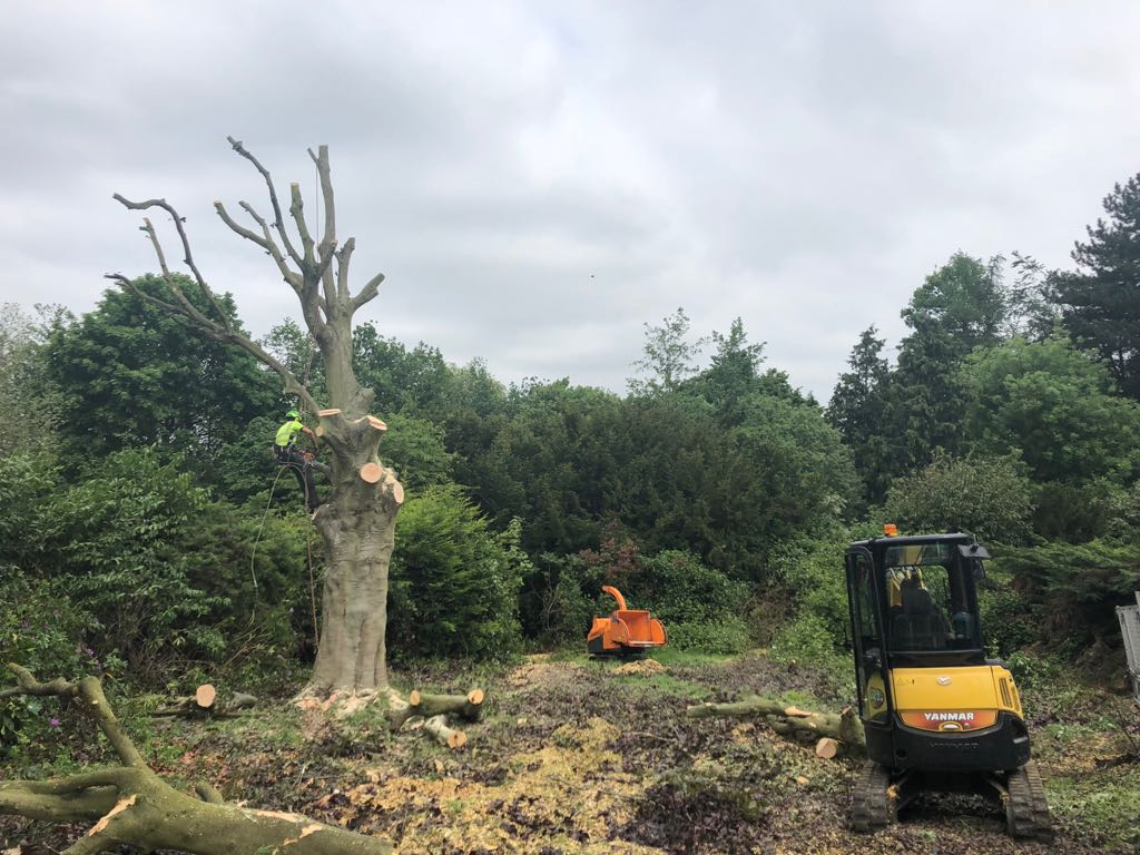 tree felling esher3 - Large copper beech tree removal in Esher, Surrey.